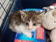 Il gattino nell'ambulatorio Fraire Racchetta
