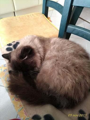 A Cuneo smarrito un gatto in via Sebastiano Grandis: è dotato di microchip