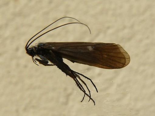 Scoperto un nuovo insetto nel Parco del Monviso, il Drusus delmastroi