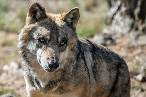 Per Confagricoltura stagione positiva sugli alpeggi della Granda, ma a preoccupare è la presenza del lupo