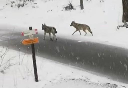 In Valle Pesio, avvistati due lupi sotto la neve al Villaggio d'Ardua (FOTO E VIDEO)