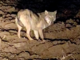 Avvistato un lupo a Santa Margherita di Peveragno a pochi metri dalle abitazioni (VIDEO)