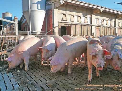 """Suinicoltura in crisi: in aumento i prezzi al consumo, """"a picco"""" invece le quotazioni pagate agli allevatori"""