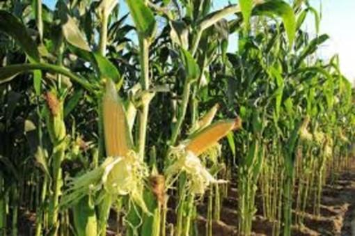 Fondo competitività filiere: fino a 100 euro all'ettaro per mais, legumi e soia