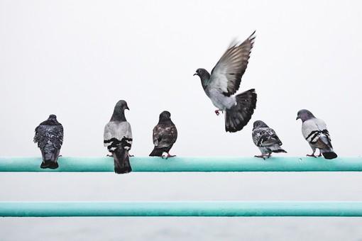 Chiusa via Savigliano per garantire l'allontanamento di piccioni in un condominio in Piazza Galimberti