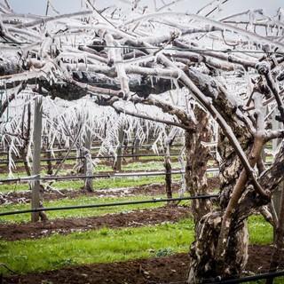 Alberi da frutto ghiacciati nelle campagne cuneesi? Un sistema per evitare i danni da gelo
