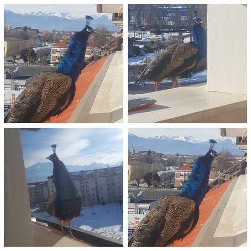 Un pavone sui tetti di Cuneo: dopo molti tentativi, è stato finalmente recuperato e portato al Cras di Bernezzo