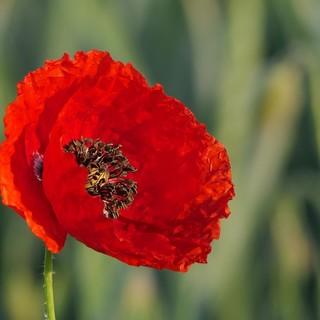 Borgo San Dalmazzo, un fiore rosso ai piedi del monumento partigiano in via Valdieri
