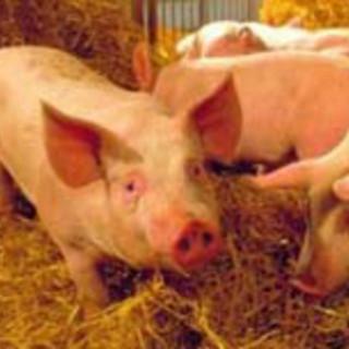 Crisi Covid, Coldiretti Cuneo: bene gli aiuti per allevamenti bovini e suinicoli