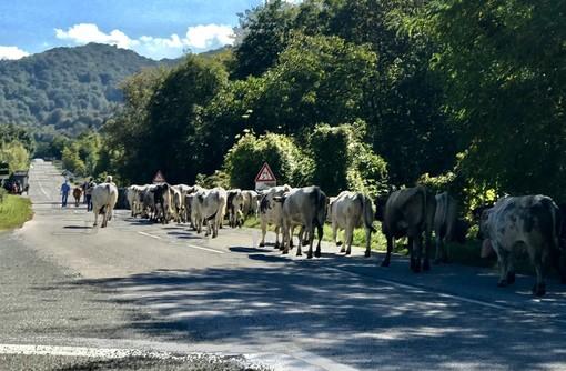 """""""Caluma el vache"""", la Confagricoltura celebra a Prazzo la discesa dagli alpeggi"""