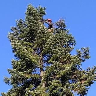 Frabosa Sottana: terminati i lavori di abbattimento di due abeti e la pulizia del cedro con  la squadra forestale della Regione Piemonte