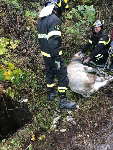 Colle d'Esischie: i vigili del fuoco salvano un vitello scivolato in uno scolo dell'acqua