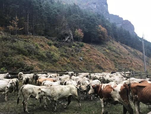 """""""Calume el vache"""" a Prazzo: Confagricoltura ha celebrato il ritorno delle mandrie a valle"""